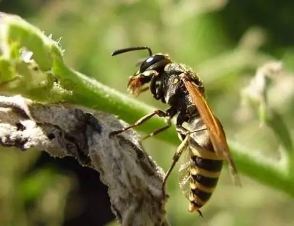 马蜂人工饲养技术(马蜂的养殖方法)