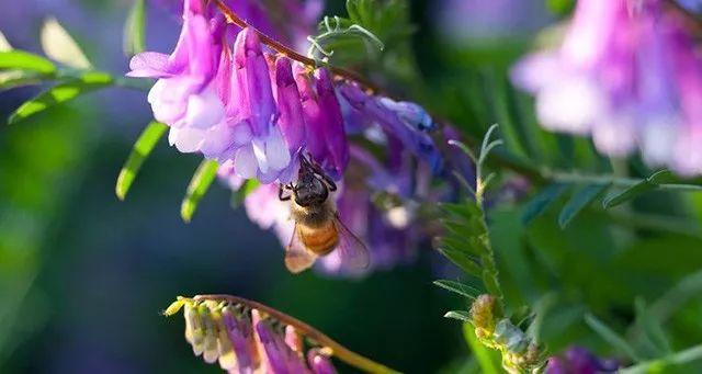 蜂王浆和苕子蜜哪个好(细说蜂王浆和苕子蜜的不同)
