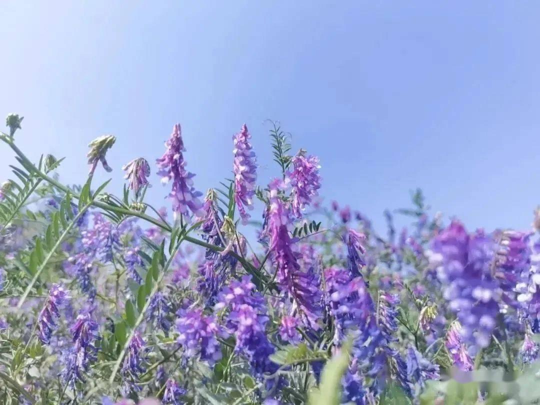 苕子花几月产蜜(苕子花期及产蜜情况)