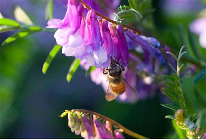 苕子是什么植物(苕子花要达到什么温度流蜜)