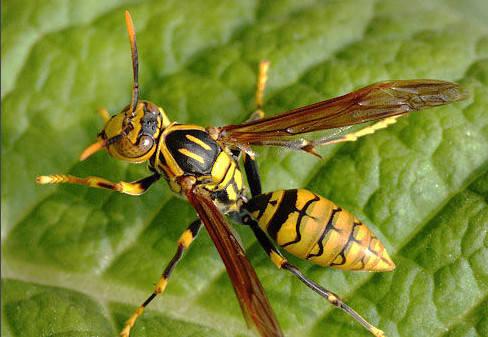 家里有牛角蜂怎么办(家里来牛角蜂什么预兆)