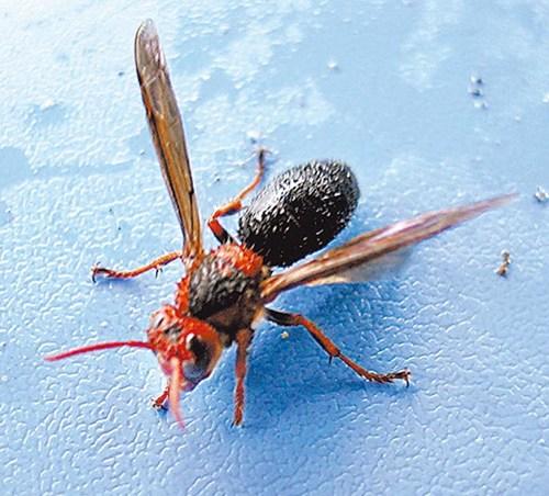 虎头蜂有几种(虎头蜂长啥样)
