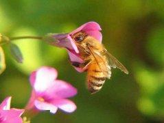 养蜂新手如何收蜂(新手第一次怎么收蜂)