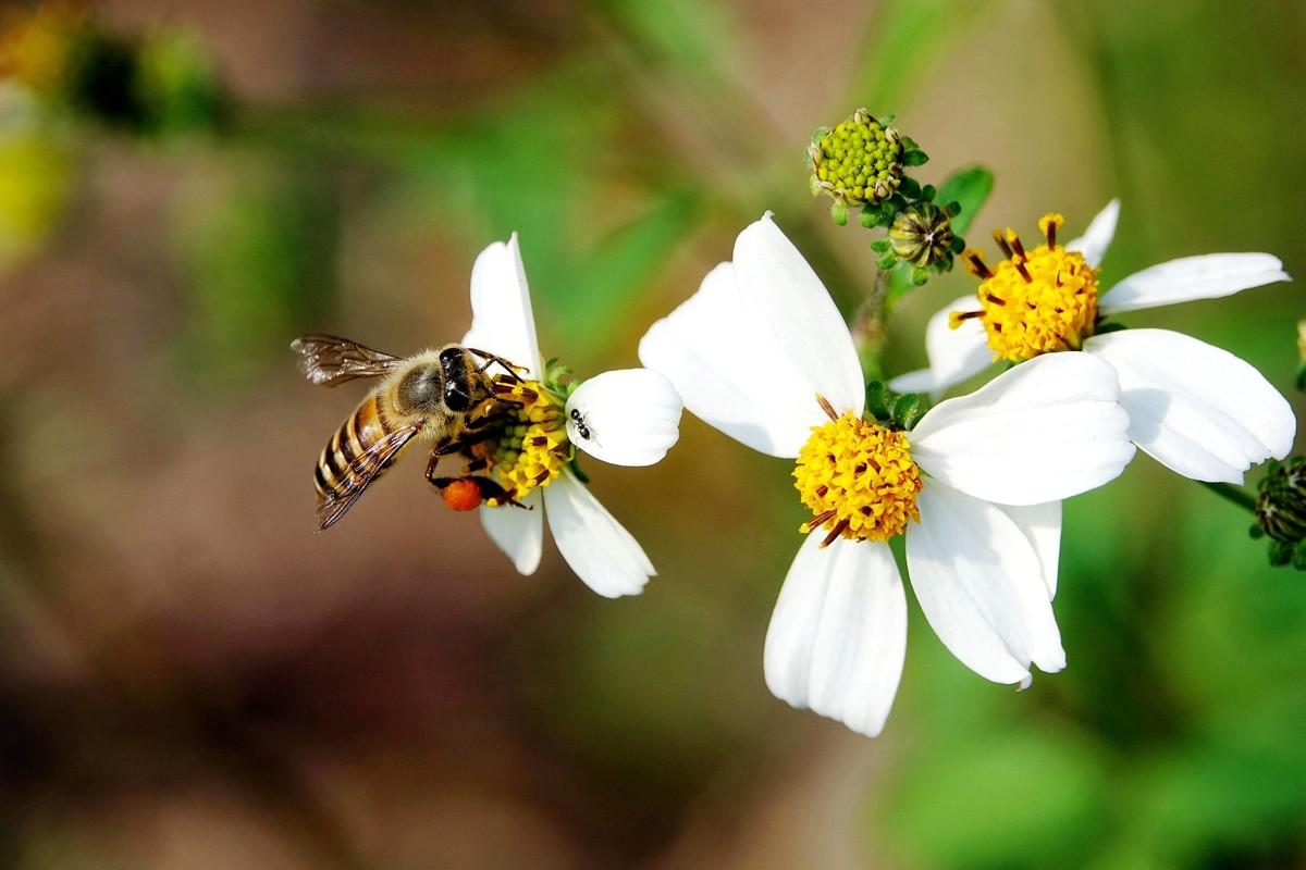 一只蜜蜂一年能产多少蜂蜜(一箱蜜蜂一年能产多少蜂蜜)