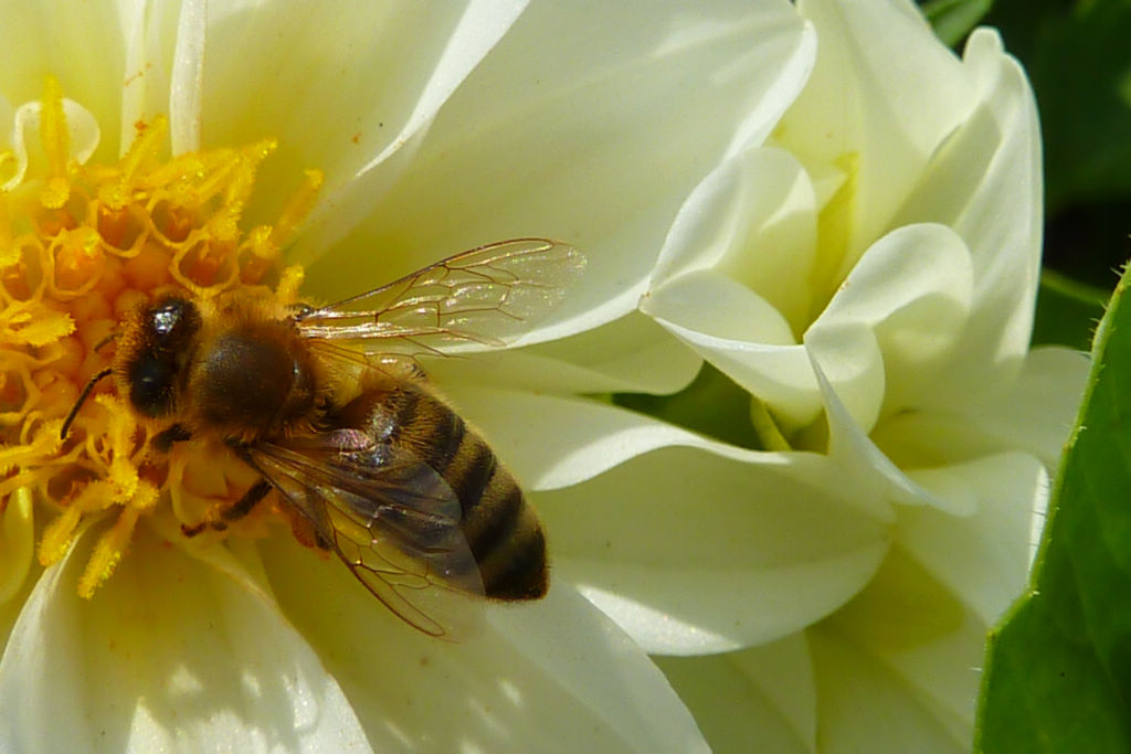 蜂螨的寿命有多长(蜂螨的繁殖周期)