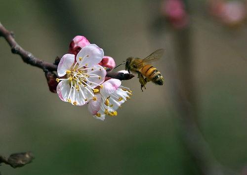 附近有人养蜂能不能诱蜂(为什么不能在养蜂场附近诱蜂)