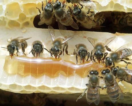 蜜蜂是怎样酿蜜的(蜜蜂酿蜜需要多少时间)