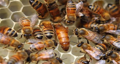 蜜蜂怎么选择蜂王蜂后(蜂王是怎么选出来的)