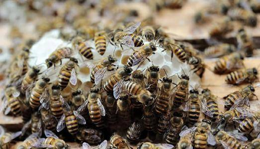 蜜蜂怎么识别蜂王(蜜蜂怎么区分和认识蜂王)