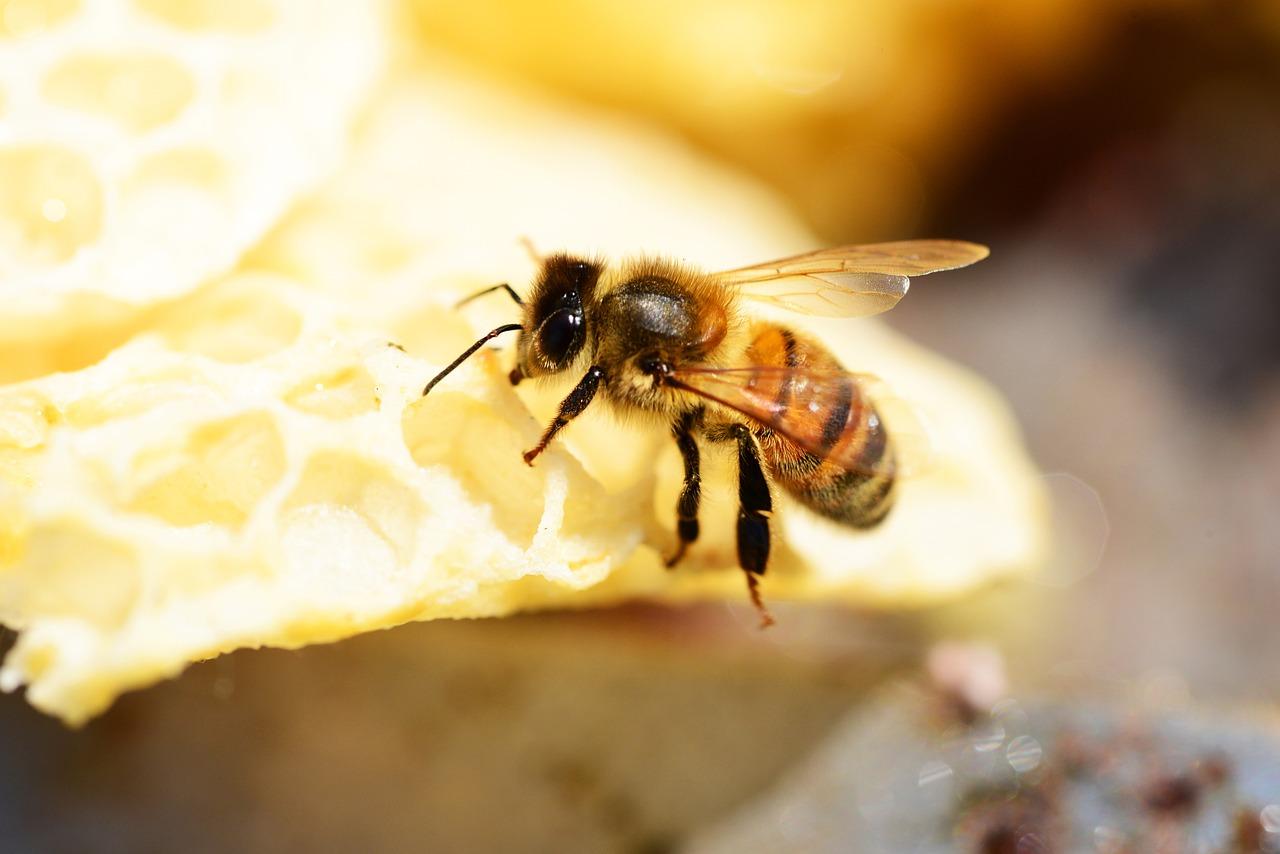 工蜂产的卵是什么蜂(产卵的工蜂长什么样子)