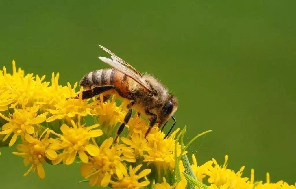 蜜蜂的信息素是什么(蜜蜂的信息素主要有哪些)