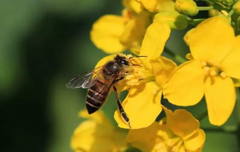 蜜蜂的领导者是什么蜂(蜂群由谁领导)