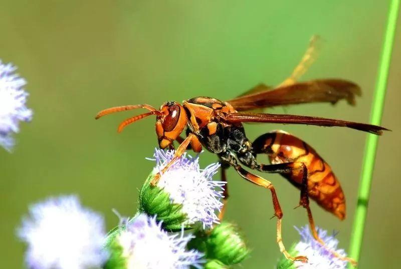 人工养殖马蜂喂什么食物(大马蜂过冬要拿什么东西喂养)