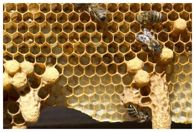 急造王台和自然王台的区别(蜜蜂急造王台和自然王台对比)