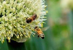 蜂群能培育出几种颜色的工蜂(蜜蜂都有什么颜色)
