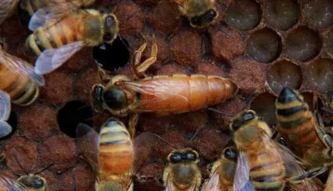 蜂王和工蜂是怎么产生的(蜂王与工蜂是什么关系)