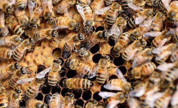 购买蜂群如何挑选(新手初学养蜂的基本要领及如何选购蜂群)