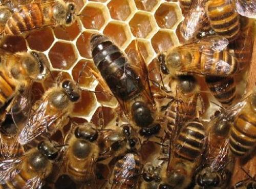 买一只蜂王就可以引来蜜蜂吗(有蜂王能引来蜜蜂吗)