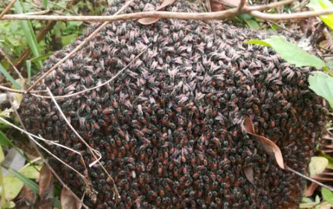 黑小蜜蜂是不是野生的(黑小蜜蜂能不能人工养殖)