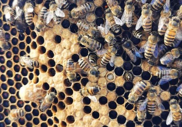 封盖后幼蜂什么时候出来(工蜂封盖子脾几天出幼蜂)