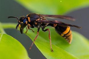 养蜂怎么防胡蜂(新手养蜂如何预防胡蜂)
