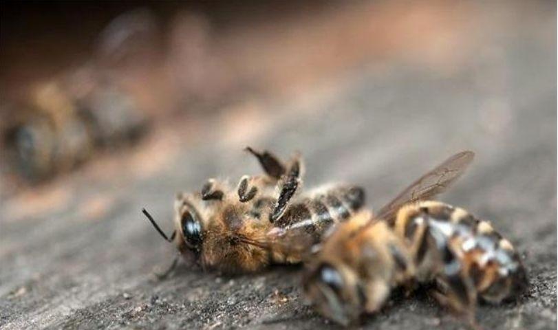 为何与蜂王交尾的雄蜂会很快死亡(雄蜂的特殊交尾方式)