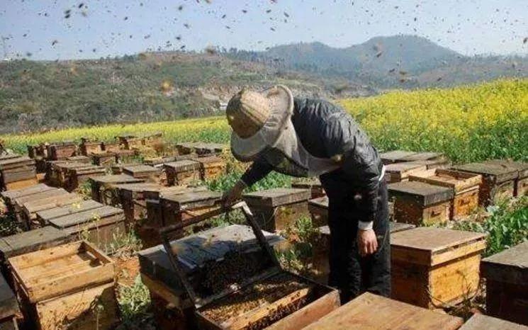 中蜂和意蜂经济价值(中蜂和意蜂哪个产量高)