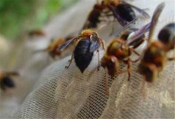 中国大虎头蜂养殖方法(教你虎头蜂怎么养殖)