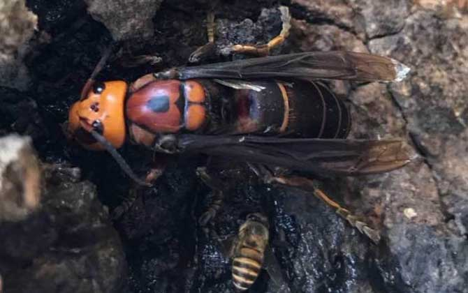虎头蜂是不是马蜂(虎头蜂与马蜂的区别)