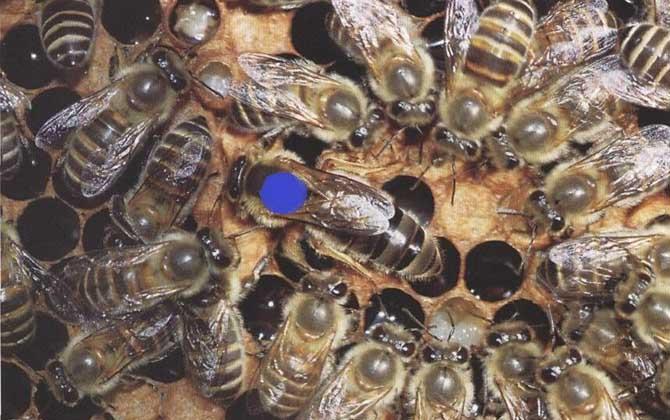 珲春黑蜂盗性