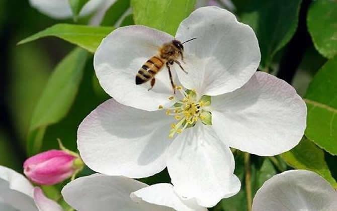 珲春黑蜂的生物特性