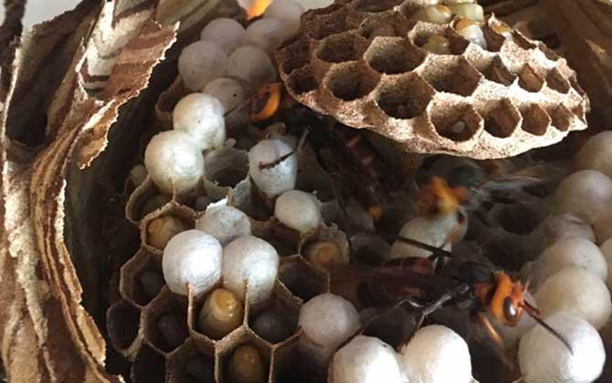 蜂蛹是什么东西变成的