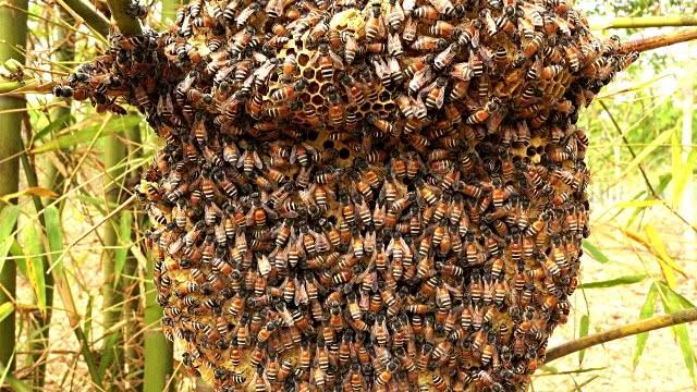 蜜蜂为什么不怕热?