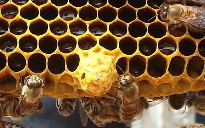 人造王台蜂王会产卵吗
