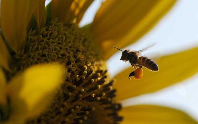 中蜂自然分蜂过程(中蜂自然分蜂是什么时候)
