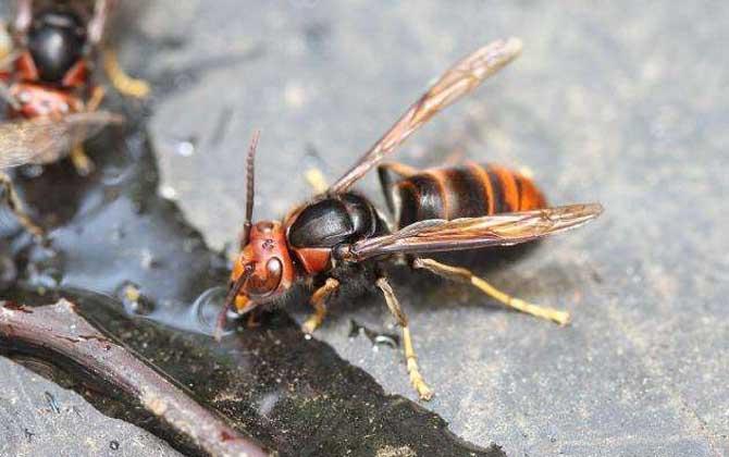 黄脚虎头蜂的毒性强吗(黄腰虎头蜂有毒吗)