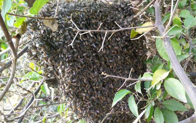 东北黑蜂买卖