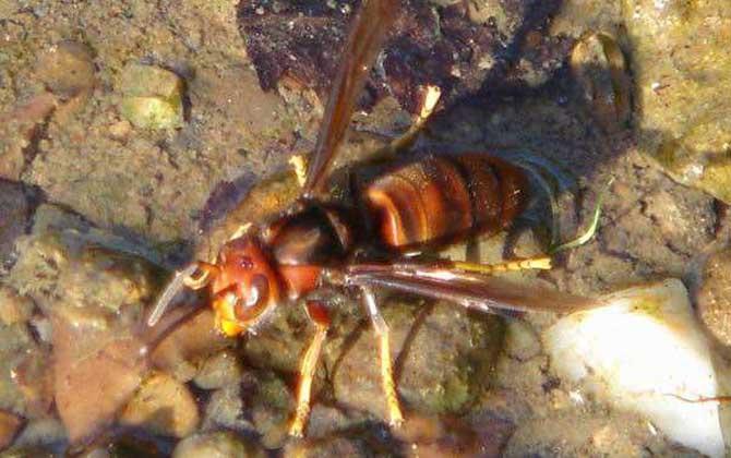 黄脚虎头蜂有毒吗(黄脚虎头蜂毒性大吗)