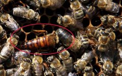 珲春黑蜂盗性强吗(珲春黑蜂的优点及养殖技术)