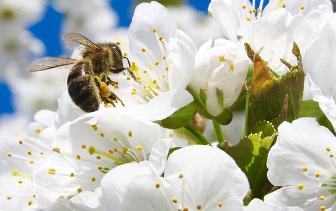 蜜蜂采蜜是春天还是夏天