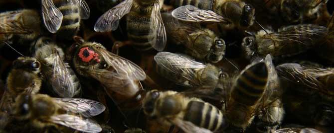 蜜蜂老打架怎么预防