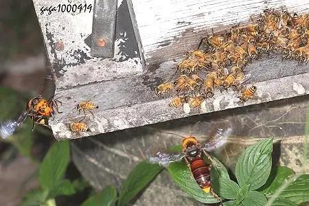 虎头蜂和蜜蜂有什么区别(虎头蜂是什么蜂)