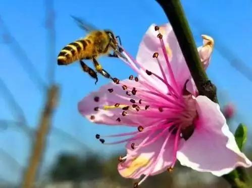 蜜蜂会采红花油茶花的蜜和粉吗(油茶花对蜜蜂的影响)