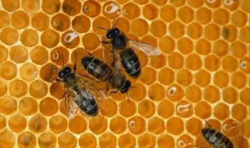 工蜂产卵会一直产吗(工蜂产的卵是什么蜂)