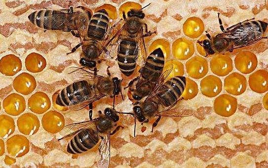 工蜂产卵后还能急造王台吗(工蜂产卵也会有王台吗)