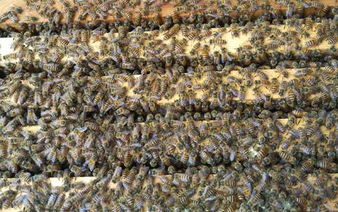 中蜂试飞多久分蜂