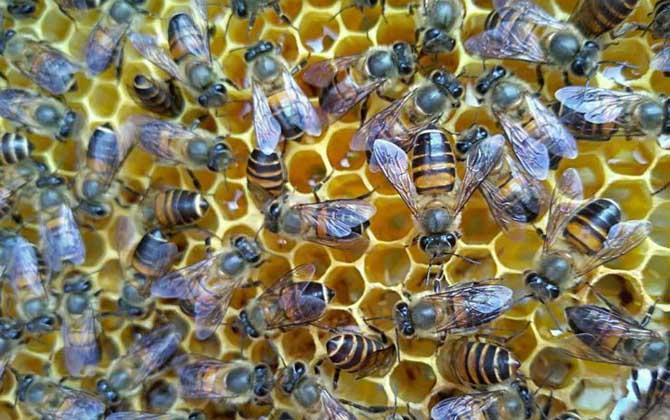 蜜蜂一年可收蜂蜜几次