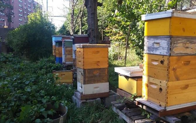 中蜂什么时候割蜜