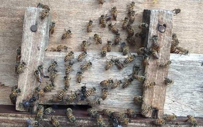 刚收回来的蜜蜂需要关一天吗