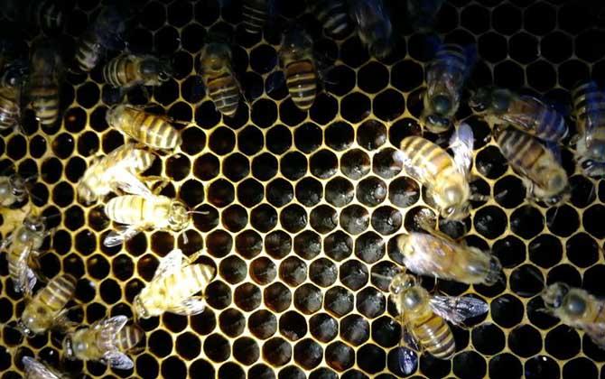 蜜蜂最少多少只工蜂才能发展